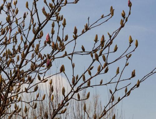 La mia magnolia sta già fiorendo
